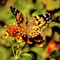 Painted Lady by Robert Bales