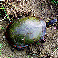 Painted Turtle by Ted Kinsman