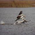 Pair Of Pelicans by Charles McKelroy