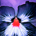 Pansy Power 76 by Pamela Critchlow