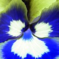 Pansy Power 85 by Pamela Critchlow
