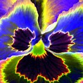 Pansy Power 87 by Pamela Critchlow