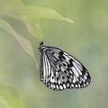 Paper Kite Butterfly by Kim Hojnacki