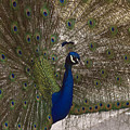 Peacock Close-up by Sally Weigand