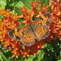 Pearly Crescentspot Butterfly by Donna Brown