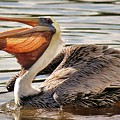 Pelican Catching A Fish by Paulette Thomas