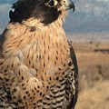 Peregrine Falcon by Tim McCarthy