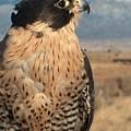 Peregrine Falcon by Tim McCarthy