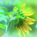 Petals Of Sunshine  by Ola Allen