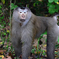 Pig-tailed Macaque by David Hohmann