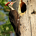 Pileated #26 by James F Towne