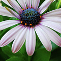 Pink African Daisy by Nancy Mueller