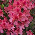 Pink Azaleas by Frank Wilson