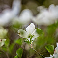 White Dogwood 3 by Karen Saunders