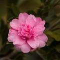 Pink Camellia  by Marta Robin Gaughen
