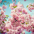 Pink Cherry Blossoms Sakura by Raimond Klavins