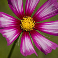 Pink Cosmos by Jim And Emily Bush