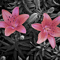 Pink Daylilies With Partially Desaturated Petals And Black And White Background by Jenness Asby