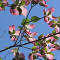 Pink Dogwood by Sarah Houser