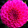 Pink Flower by Anthony Jones