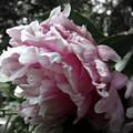 Pink Flower by Sophia Tallant