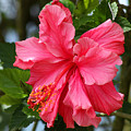 Pink Hibiscus Flower On A Tree by Robert Hamm