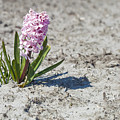 Pink Hyacinths by Andre Goncalves