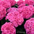 Pink Hydrangeas by Jeannie Rhode