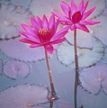 Pink Lily Blossom by Ron Dahlquist - Printscapes
