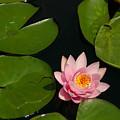 Pink Lotus Waterlily by Jackie Irwin