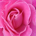Pink Of Rose by Jacqueline Migell