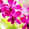 Pink Orchid Lei by Dana Edmunds - Printscapes