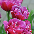 Pink Parrot Tulips by Perl Photography