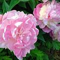 Pink White Peonies  by Wonju Hulse