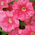 Pink Petunias by Nancy Aurand-Humpf