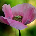 Pink Poppy by Lisa L Silva