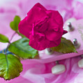 Pink Rose 5 by Alex Art and Photo