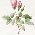 Pink Rose And Buds by Louise D'Orleans