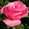 Pink Rose by FL collection