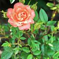 Pink Rose In The Garden by Igor Grey
