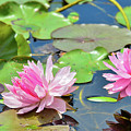 Pink Water Lily Series by Soni Macy