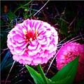 Pink Zinnia's by Debra Lynch