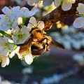 Plum Full Of Bees by Kathryn Meyer