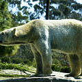 Polar Bear  by Anthony Jones