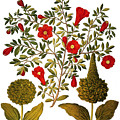 Pomegranate, 1613 by Granger