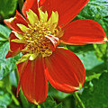 Pooh Collarette Dahlias In Golden Gate Park In San Francisco, California  by Ruth Hager