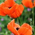 Poppies by Melanie Beasley