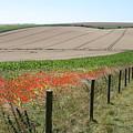 Poppies by Robert Harris