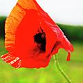Poppy The Beauty by HazelPhoto