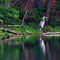 Posing Great Blue Heron  by Betty Pauwels